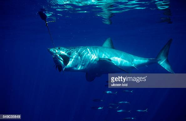 Shark island stock photos and pictures getty images for Great white shark fishing