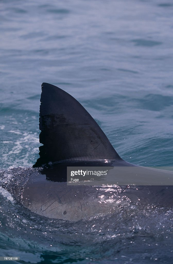Great White Shark Fin Above Water