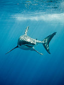 Great white shark with its main four fins swimming in the Pacific Ocean at Guadalupe Island in Mexico