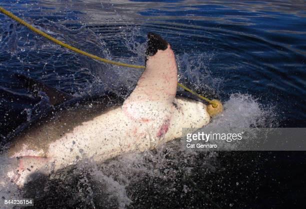 Great White Shark goes for Bait