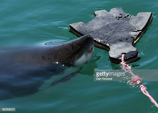 Great White Shark is attracted by a lure in the shape of a baby seal on the 'Shark Lady Adventure Tour' on October 19 2009 in Gansbaai South Africa...