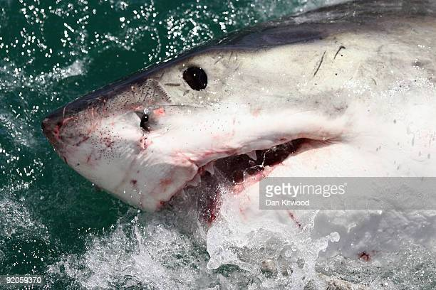 Great White Shark is attracted by a lure on the 'Shark Lady Adventure Tour' on October 19 2009 in Gansbaai South Africa The lure usually a tuna head...