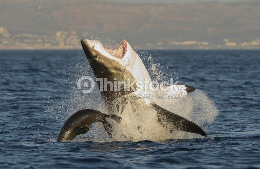 Great White Shark Jumping Up From The Waters In Midair Stock