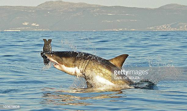 A Great White shark jumps out of the water as it bites a fake decoy seal near False Bay on July 4 2010 AFP PHOTO/Carl de Souza