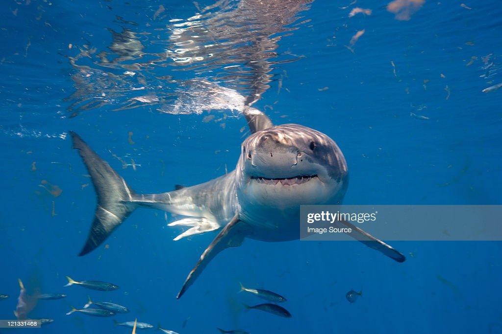 Great White Shark, Mexico : Stock Photo