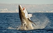 Hunting of a Great White Shark (Carcharodon carcharias) breaching in an attack on seal. South Africa