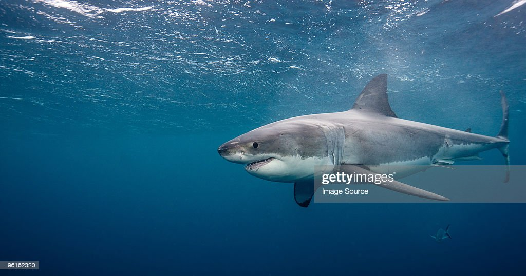 Great White Shark : Stock Photo