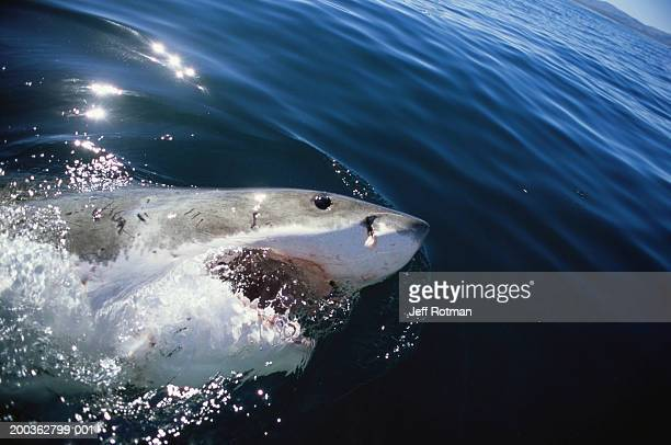 Great white shark (Carcharodon carcharias) surfacing, mouth open