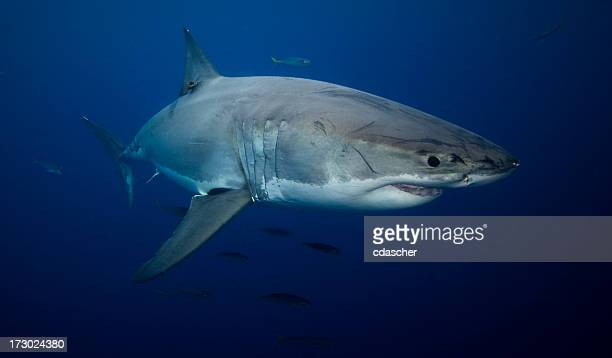 Great white shark swimming in the ocean