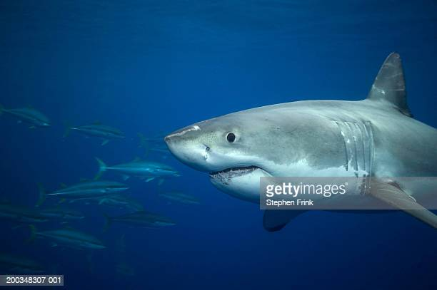 Great white shark swimming past school of rainbow runner (wide-angle)