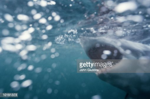 Great white shark (Carcharodon carcharias) with mouth open underwater : Stock Photo