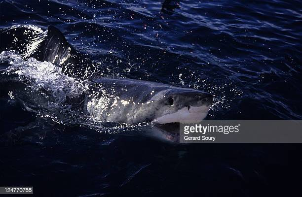 great white shark,carcharodon carcharias,surfacing,south australia