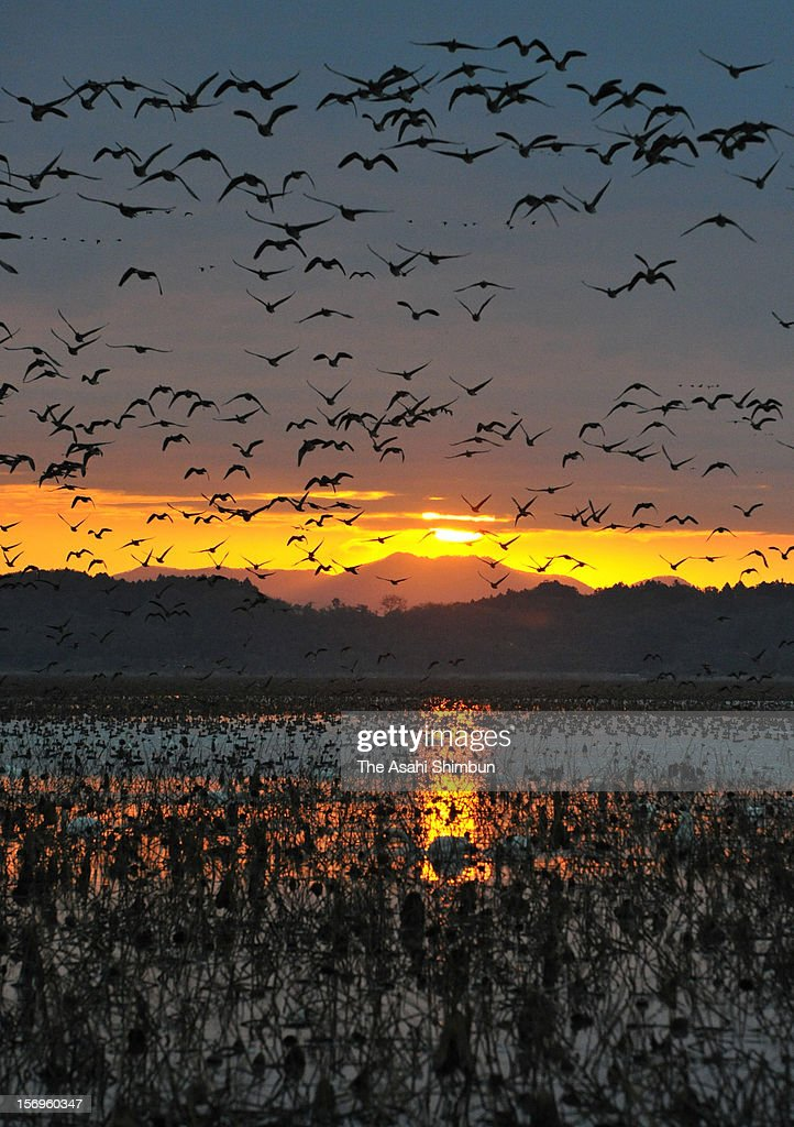 Great white-fronted gooses are flying at sunrise around Izunuma pond on November 19, 2012 in Kurihara, Miyagi, Japan. 66,000 gooses will spend winter around the pond by mid Feburary.