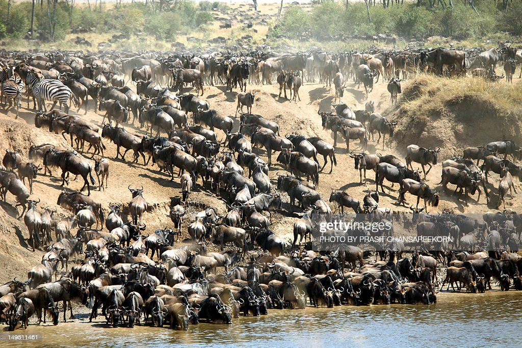 Great Wildebeest Migration : Stock Photo