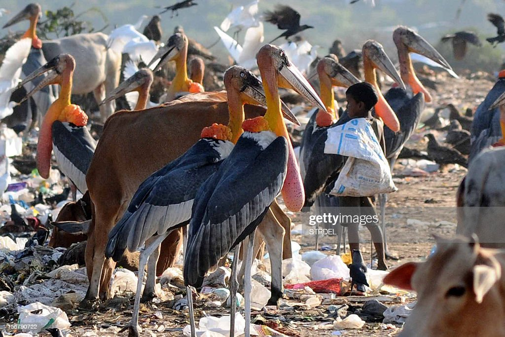 Greater adjutant storks look on as a young Indian rag picker stand in a garbage landfill at Boragoan in Guwahati on November 21, 2012. Environmentalists claim that the population of greater adjutant storks has decreased in recent years due to climate change. The goal of keeping planet warming in check has moved further out of reach, the United Nations warned November 21 in the latest of a flurry of reports pointing to looming climate disaster ahead of key talks in Qatar. AFP PHOTO/Biju BORO