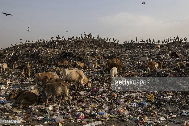 Greater Adjutant Storks sit on the largest dumping site of the state as cows graze amongst the garbage on the eve of World Environment Day on the...