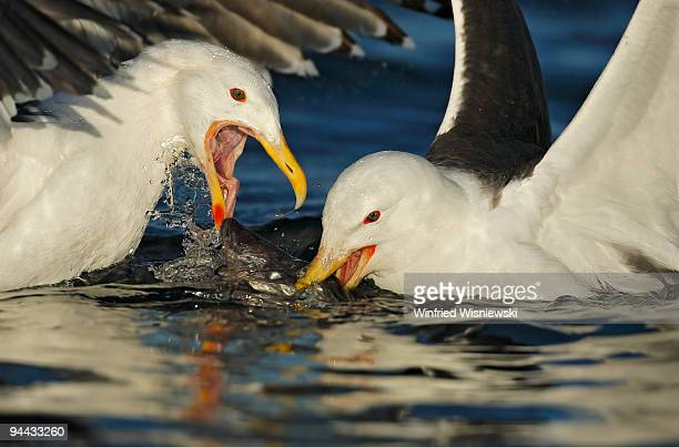 Greater black-backed gulls struggling for fish