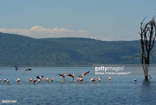 Greater flamingoes (Phoenicopterus roseus) landing on the lake