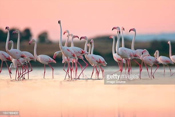 Greater Flamingos (Phoenicopterus roseus), Oristano, Sardinia