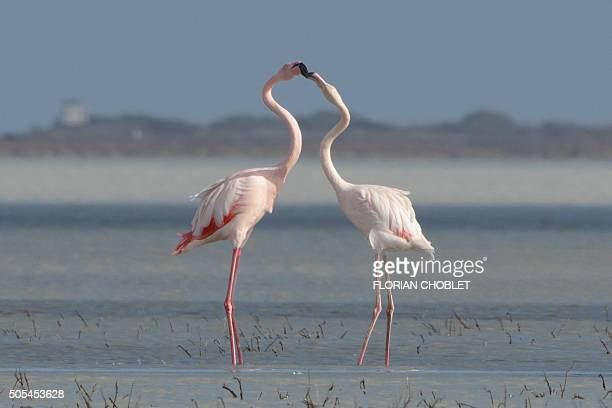 Greater flamingos stand on a salt lake in the Sovereign Base Area of Akrotiri a British overseas territory located ten kilometres west of the Cypriot...