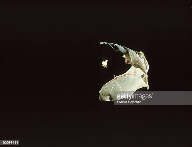 greater horseshoe bat: rhinolophus ferrum-equinum  chasing m oth
