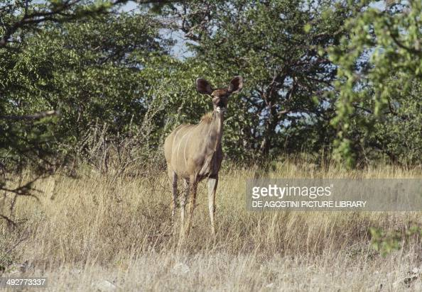 Greater kudu Bovidae
