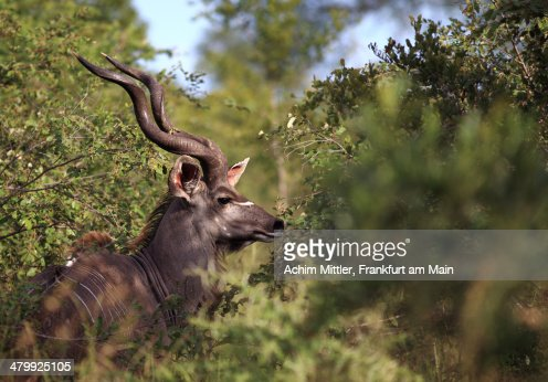 Greater Kudu in bush