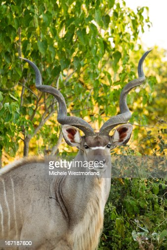 Greater Kudu Male, Botswana.
