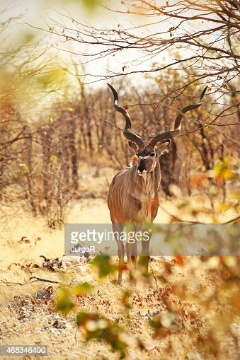 Greater Kudu Male in Etosha NP Namibia Africa
