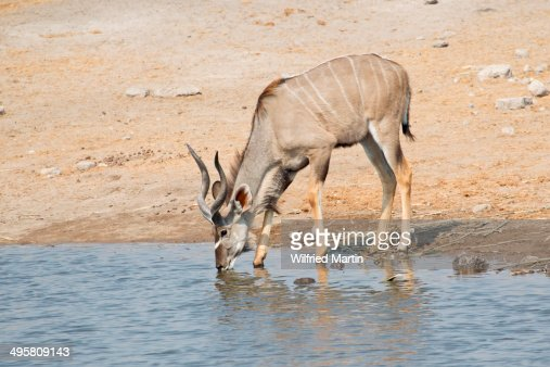 Greater Kudu -Tragelaphus strepsiceros- drinking at a waterhole, Etosha National Park, Namibia
