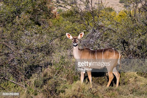 Greater Kudu -Tragelaphus strepsiceros-, female, Addo Elephant National Park, Eastern Cape, South Africa