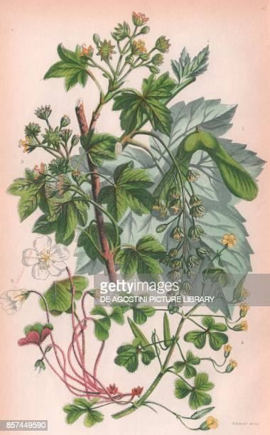 1 Greater maple or Sycamore 2 Common Maple 3 Common wood sorrel 4 Yellow procumbent wood sorrel chromolithograph ca cm 14x22 from The Flowering...