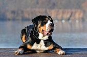 Greater mountain swiss dog