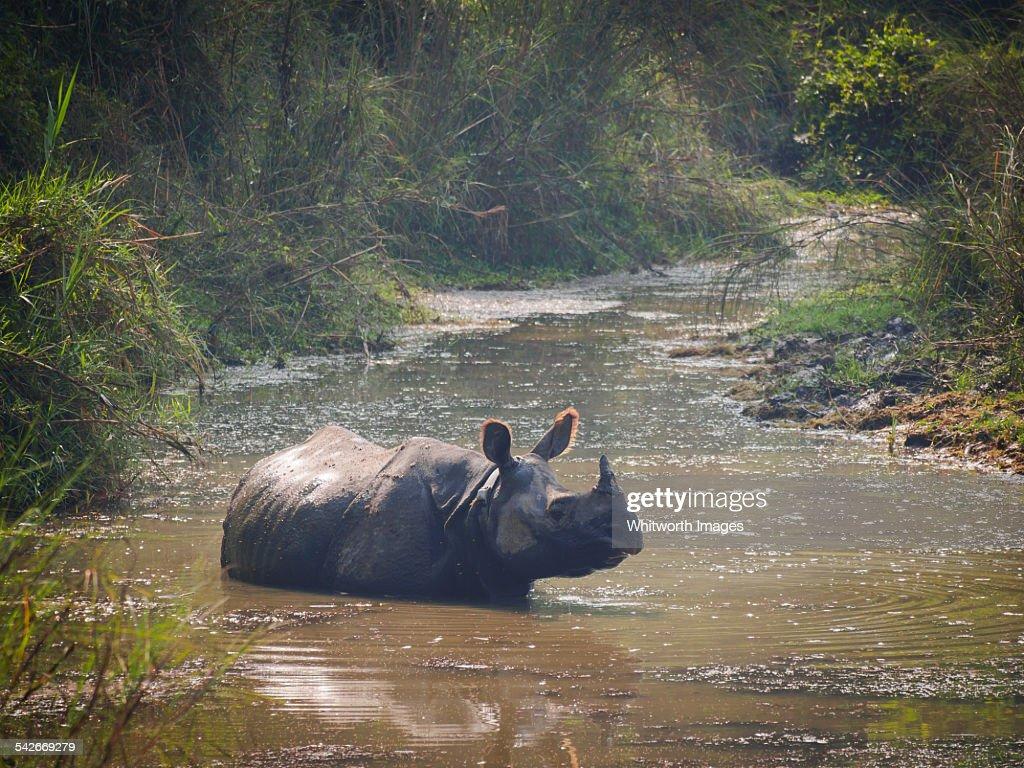 Greater one-horned rhinoceros, Chitwan, Nepal