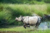 specie Rhinoceros unicornis family of Rhinocerotidae