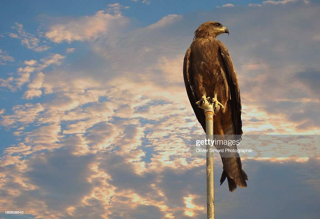 Greater Spotted Eagle : Stock Photo