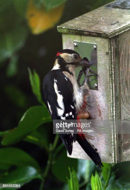 A greater spotted woodpecker peers into a blue tit nesting box protected by a metal plate as it tries to get at the blue tit chicks inside