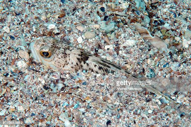 Greater Weever -Trachinus draco-, Black Sea, Crimea, Russia