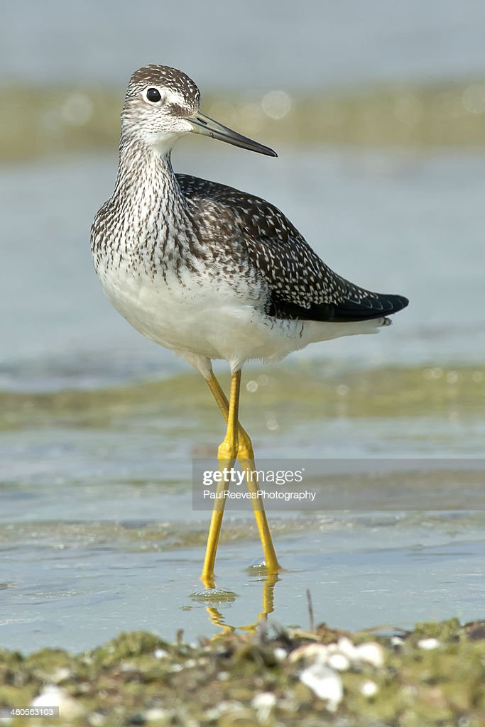 Greater Yellowlegs : Stock Photo