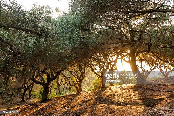 Greece, Corfu, olive orchard at sunset