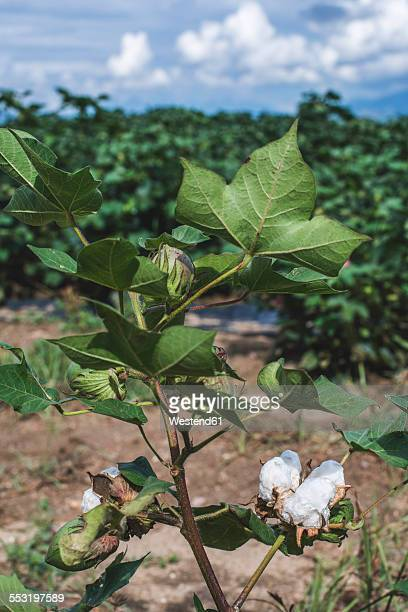 Greece, cotton plantation, green leaves, blooming cotton