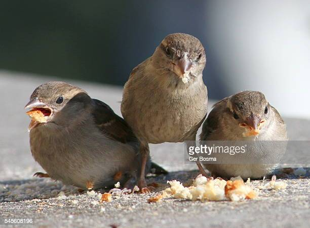 Greedy Baby House Sparrows