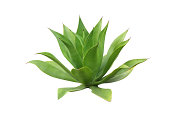 Agave plant isolated on white background ( tequila plant)