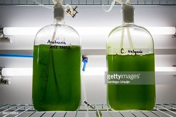 Green algae being grown on the lab