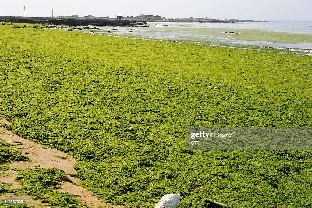 Green algae covers a beach in Qingdao, northeast China's Shandong province on June 19, 2012. Chinese marine authorities are working to protect China's eastern coasts from a 'green tide' of algae currently drifting on the Yellow Sea, as the North Sea branch of the State Oceanic Administration said the algae had been found in an area of 14,130 square kilometers of the Yellow Sea, and that a dense 165-square-km patch was of particular concern invading coasts of Qingdao and Rizhao cities. CHINA OUT AFP PHOTO