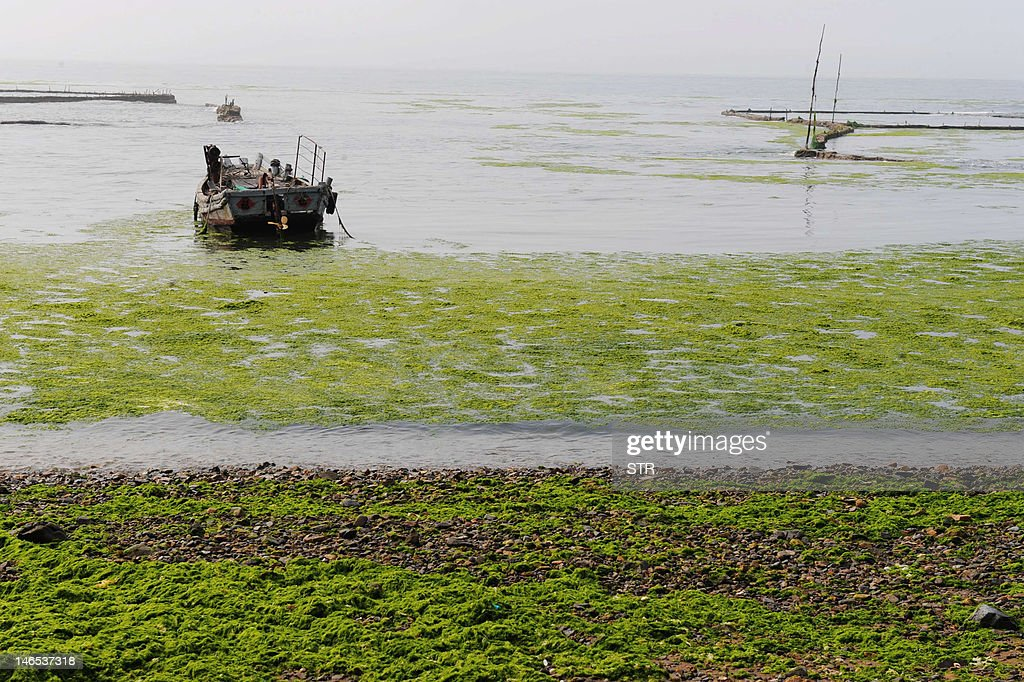 Green algae covers a beach in Qingdao, northeast China's Shandong province on June 19, 2012. Chinese marine authorities are working to protect China's eastern coasts from a 'green tide' of algae currently drifting on the Yellow Sea, as the North Sea branch of the State Oceanic Administration said the algae had been found in an area of 14,130 square kilometers of the Yellow Sea, and that a dense 165-square-km patch was of particular concern invading coasts of Qingdao and Rizhao cities. CHINA