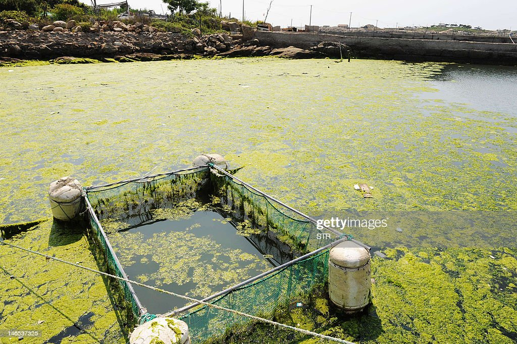 Green algae moves towards a beach in Qingdao, northeast China's Shandong province on June 19, 2012. Chinese marine authorities are working to protect China's eastern coasts from a 'green tide' of algae currently drifting on the Yellow Sea, as the North Sea branch of the State Oceanic Administration said the algae had been found in an area of 14,130 square kilometers of the Yellow Sea, and that a dense 165-square-km patch was of particular concern invading coasts of Qingdao and Rizhao cities. CHINA OUT AFP PHOTO