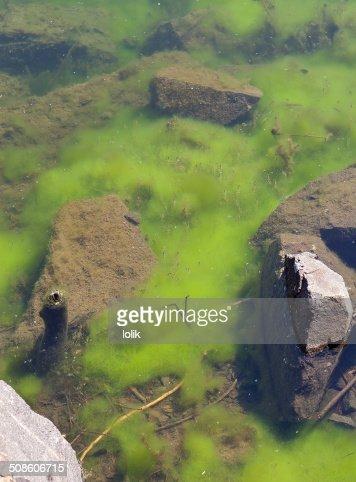 Green algae : Stock Photo