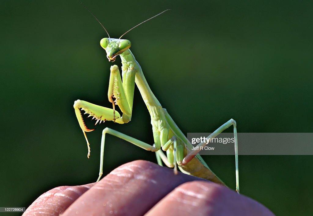 Green alien mantis : Stock Photo