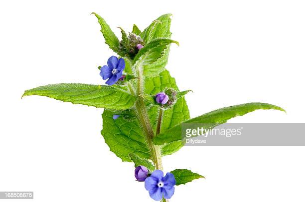 Green Alkanet Plant Isolated On White